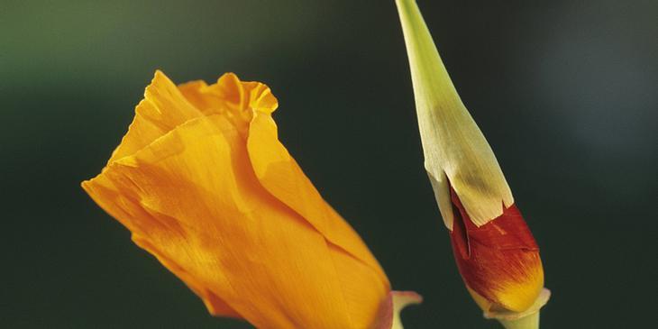 Kalifornischer Mohn Kelchblätter