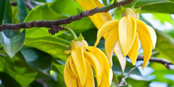 Ylang-Ylang hilft bei Atembeschwerden